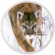 Cougar Stalks Through Snow Round Beach Towel