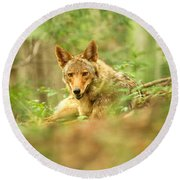 Coyote Caught Napping Round Beach Towel