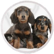 Dachshund And Merle Dachshund Pups Round Beach Towel