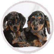Dachshund Pups Round Beach Towel