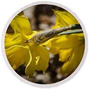 Daffodil Sunshine Round Beach Towel