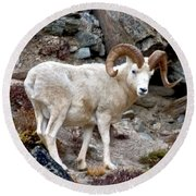 Dall's Sheep Round Beach Towel