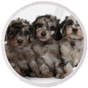 Daxiedoodle Poodle X Dachshund Puppies Round Beach Towel by Mark Taylor