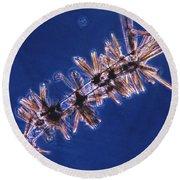 Diatoms Attached To Alga, Lm Round Beach Towel