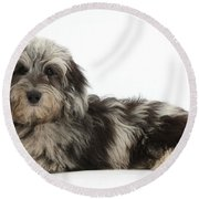 Doxie-doodle Puppy Round Beach Towel