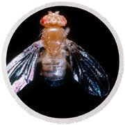 Drosophila With Dichaete Wings Round Beach Towel