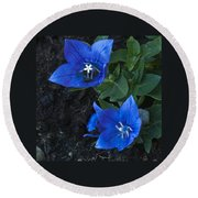 Dwarf Balloon Flower Platycodon Astra Blue  Round Beach Towel by Steve Purnell
