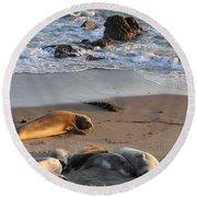 Elephant Seals At Piedras Blancas Round Beach Towel