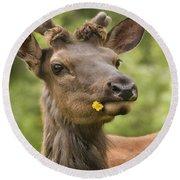 Elk Cervus Canadensis With Dandelion In Round Beach Towel