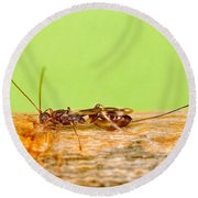 Emerald Ash Borer Parasite Round Beach Towel by Science Source