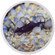 Emporer Shrimp On A Large Pin Cushion Round Beach Towel