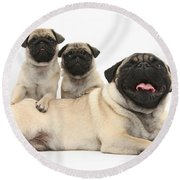 Fawn Pugs, Mother And Pups Round Beach Towel