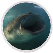 Feeding Whale Shark, La Paz, Mexico Round Beach Towel