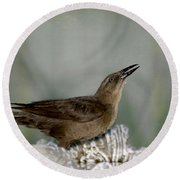 Female Boat Tailed Grackle Round Beach Towel