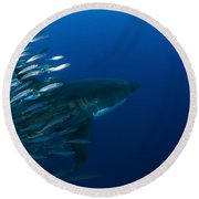Female Great White Shark With A School Round Beach Towel