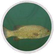 Female Smallmouth Bass Round Beach Towel