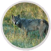 Femle Gray Wolf In The Morning Light Round Beach Towel