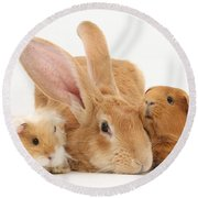 Flemish Giant Rabbit With Guinea Pigs Round Beach Towel