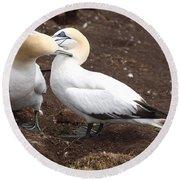 Gannets Showing Mutual Preening Behavior Round Beach Towel