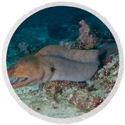 Giant Moray Eel Swimming Round Beach Towel by Mathieu Meur
