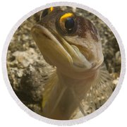 Gold-speck Jawfish Pouting, North Round Beach Towel