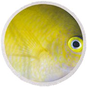 Golden Damsel Close-up, Papua New Round Beach Towel