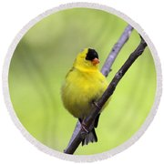 Goldfinch - All Puffed Up Round Beach Towel