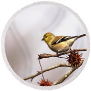 Goldfinch In Sweetgum Round Beach Towel