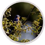 Good Morning Sunshine - Eastern Bluebird Round Beach Towel