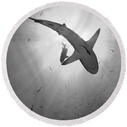 Gray Reef Shark, Kimbe Bay, Papua New Round Beach Towel