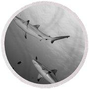 Gray Reef Sharks. Papua New Guinea Round Beach Towel