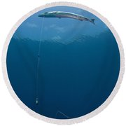 Great Barracuda Hooked With Fishing Round Beach Towel