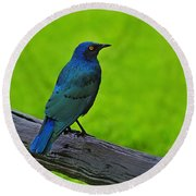 Greater Blue-eared Starling Round Beach Towel