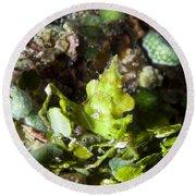 Green Arrowhead Crab, Papua New Guinea Round Beach Towel