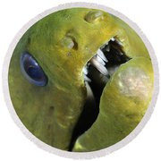 Green Moray Eel Close-up On Caribbean Round Beach Towel
