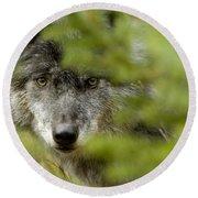 Grey Wolf, Outside Golden, British Round Beach Towel