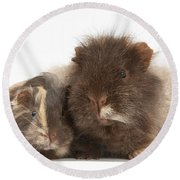 Guinea Pig And Baby Round Beach Towel