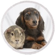 Guinea Pig And Blue-and-tan Dachshund Round Beach Towel