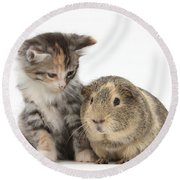 Guinea Pig And Maine Coon-cross Kitten Round Beach Towel