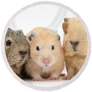 Guinea Pigs And Hamster Round Beach Towel