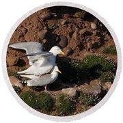 Herring Gulls Mating Round Beach Towel