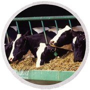 Holstein Dairy Cows Round Beach Towel by Photo Researchers