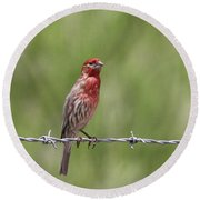 House Finch - Content Round Beach Towel