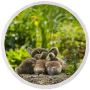 Huddled Goslings Baby Geese Along River's Edge Round Beach Towel
