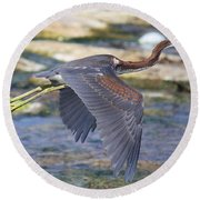 Immature Tricolored Heron Flying Round Beach Towel