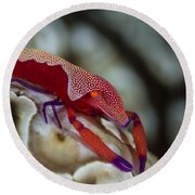 Imperator Commensal Shrimp On Eyed Sea Round Beach Towel