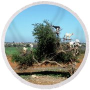 In Morocco Goats Grow On Trees Round Beach Towel