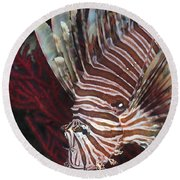 Indonesian Lionfish On A Wreck Site Round Beach Towel