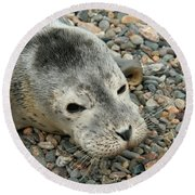 Injured Harbor Seal Round Beach Towel by Ted Kinsman