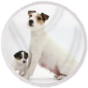 Jack Russell Terrier Mother And Puppy Round Beach Towel